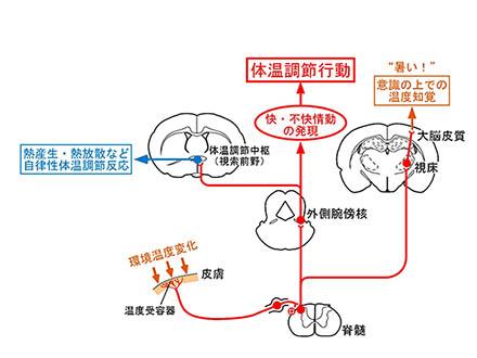 快適温度環境探す行動に必要な神経伝達回路を解明 名大グループ