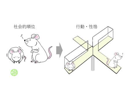 マウスは社会的順位がうつ様行動に影響 遺伝学研と静岡県立大学