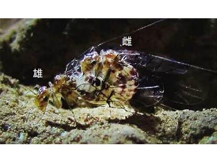 カブトムシの幼虫、固い地中でも回転しながら掘り進む 阪大が昆虫学の謎解明