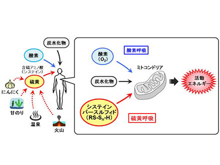 哺乳類が硫黄でエネルギー代謝 「硫黄呼吸」を世界で初めて発見