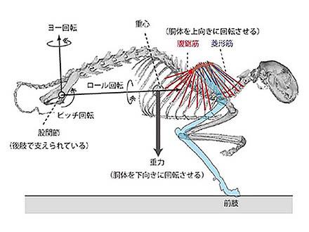 肩甲骨の位置から恐竜の正しい姿勢が推定できた