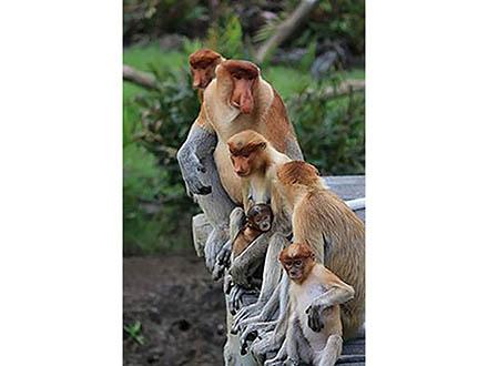 テングザルの雄は、大きな鼻と、鼻にかかった低音の声で雌を魅了する