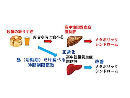 砂糖取るなら日中の活動時間帯に 名大グループがラットの実験結果からアドバイス