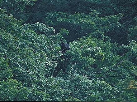 ツキノワグマはドングリの結実量に合わせて採食効率を高めていた