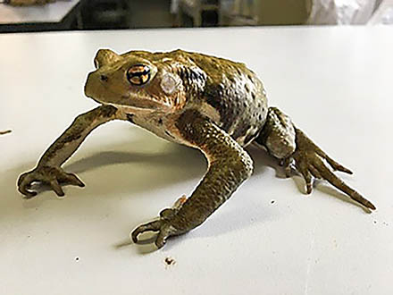 北海道のカエルは本州から来た外来カエルを食べて死ぬ