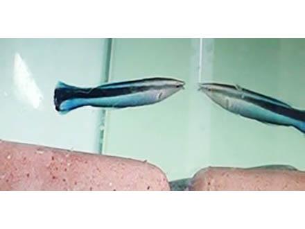「鏡に映る自分」が分かる魚を初めて確認 魚類も「鏡像自己認知」あるのでは、と大阪市立大グループ