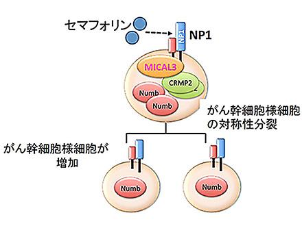 乳がんの幹細胞が、分裂して倍増する仕組みを発見