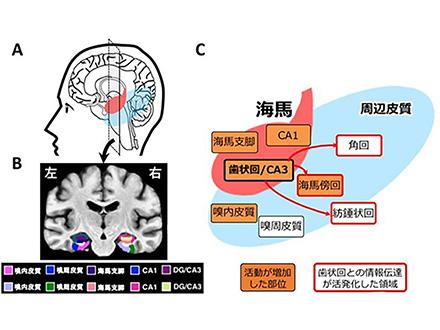 私たちの記憶システムは10分間の軽い運動で活性化する