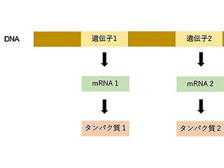 DNA情報がリレーのバトンのように伝えられる—異なるタンパク質が正しく合成される仕組みが分かってきた