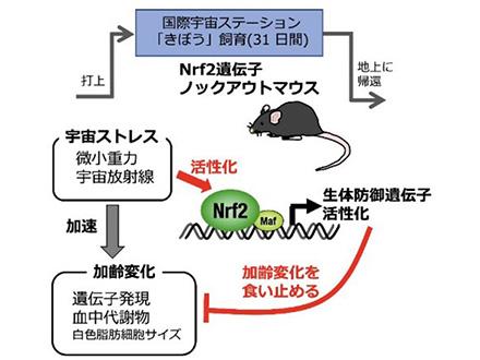 宇宙での老化加速が判明 東北大、遺伝子欠損マウス調べ