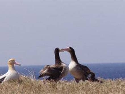 特別天然記念物のアホウドリ、実は2種あった 鳥島と尖閣で体やくちばしに違い
