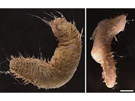 南極・昭和基地周辺から新種の生物を発見 北海道大と極地研
