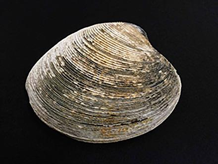 大槌町から世界へ発信 日本最長老級の二枚貝「ビノスガイ」の成長線から見えたもの
