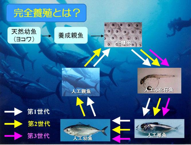 マグロを例にした完全養殖のサイクル 画像提供:近畿大学水産研究所