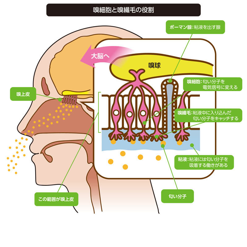 鼻の上部にある嗅上皮という組織のなかにある嗅細胞に発現している嗅覚受容体で匂い分子が感知される。すなわち、鼻腔に入った匂い分子は、嗅上皮(嗅粘膜)と呼ばれる部位に届き、そのなかの嗅細胞の先端の嗅繊毛で匂い分子がキャッチされて、その結果匂いという化学信号が電気信号に変えられ、嗅球を通って大脳へ情報が伝えられる。