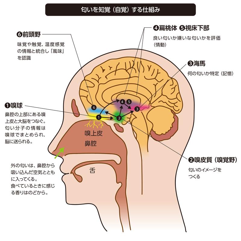 匂いを知覚(自覚)する仕組み