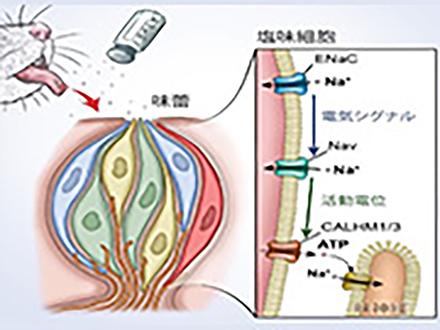 塩味をおいしく感じる舌の細胞を特定 情報伝達の仕組みも明らかに