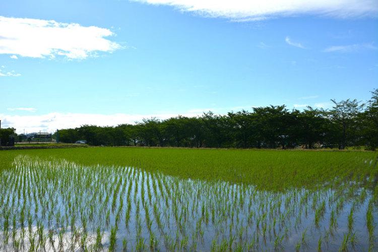 """深刻な問題となっている地球温暖化と農業には深い関係がある。農業・食品産業技術総合研究機構(農研機構)は、強い温室効果があるメタンが水田で発生していることに注目して、その発生を抑える""""中干し""""と呼ばれる手法を高度化した。その一方で、温暖化にも強いイネの育種を推進。この2つの取り組みは、日本全国、さらには世界への展開可能性を持つことが高く評価され、2019年度「STI for SDGs」アワード「優秀賞」を受賞した。"""