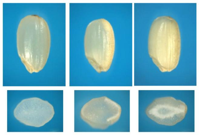 高温障害に適応していない従来品種は、もみが大きくなる20日程度の間に平均気温が26度以上の高温になると、米が白く濁る未熟粒(写真中、右)が発生し、品質が低下してしまう。※資料提供:農研機構