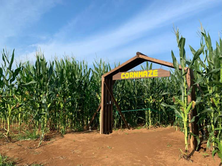 2019年7月にオープンした巨大迷路の入り口。60アールの畑に約3万5000本のトウモロコシを栽培しつくられた。
