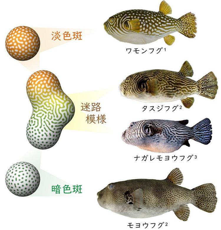 シミュレーションで2つの水玉模様を混ぜると迷路模様に(左、大阪大学提供)。右は実際に交雑でできたと分かった迷路模様の魚と水玉模様の親(1が瀬能宏氏と神奈川県立生命の星・地球博物館、2は鹿児島大学総合研究博物館、3は松浦啓一氏がそれぞれ提供)