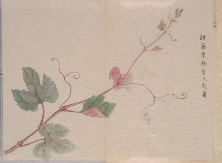 藤原清香「甘葛考」に描かれた甘葛の原料の植物(国立国会図書館蔵)