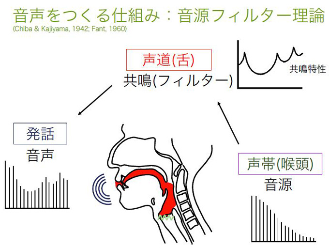 音源である声帯で発生させた音を、筋肉の動きで微妙に形を変える声道で共鳴させることで、ヒトは複雑な音声を発している。※画像提供:西村 剛