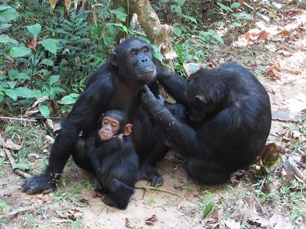 「父系社会」チンパンジーのメス、生まれ育った群れでも出産