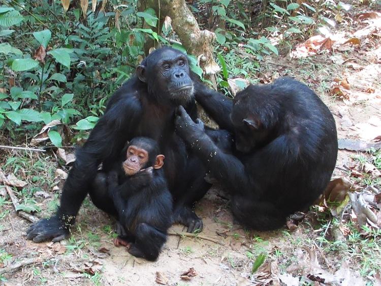 生まれ育った群れに居残ったチンパンジーのメス(中央)。左はその子供、右は母親。母親が娘の毛づくろいをしている=2015年、タンザニア・マハレ山塊国立公園(松本卓也氏撮影、提供)