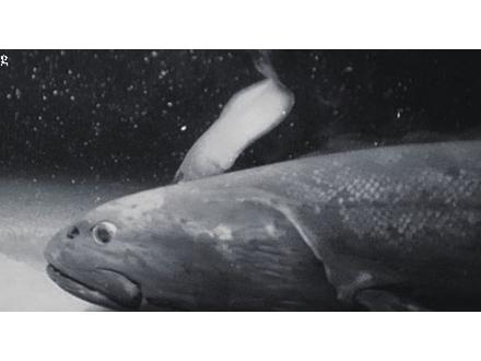 駿河湾で見つかった巨大深海魚は新種 「ヨコヅナイワシ」と命名、食物連鎖の頂点か
