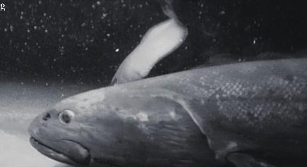 深海に設置されたカメラが捉えた遊泳するヨコヅナイワシ(JAMSTEC提供)