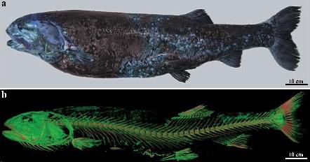 ヨコヅナイワシの側面写真(上)と全身骨格のCT画像(JAMSTEC提供)