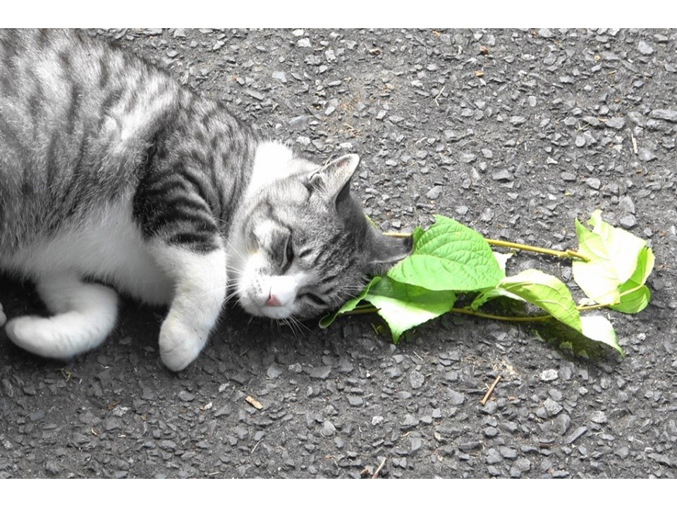 「ネコにマタタビ」は蚊を避けるため 謎の行動を遂に解明