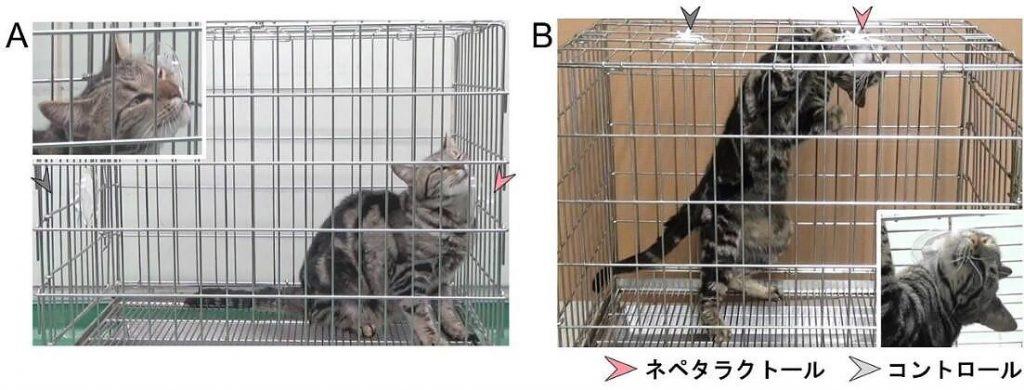 ネペタラクトールの濾紙を壁や天井に貼りつけた時のネコの反応(岩手大学提供)