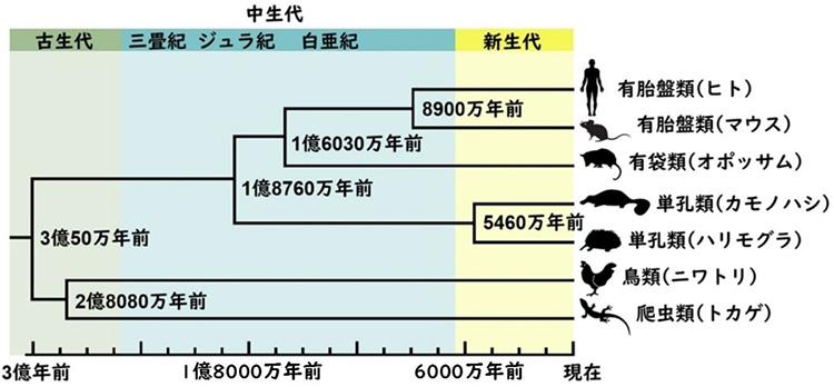 全ゲノム塩基配列の違いから推定した哺乳類の分岐年代(早川卓志氏提供、一部改変)
