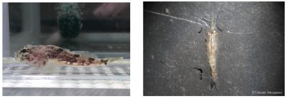 実験に用いられたシモフリカジカ(左)の体長は8センチ。イサザアミ類(右)は体長が1センチ(北海道大学提供)