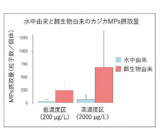 実験結果を示すグラフ。マイクロプラスチック(MPs)の濃度に関わらずシモフリカジカは餌のイサザアミ類を通じて多くのMPsを摂取していた(北海道大学提供)