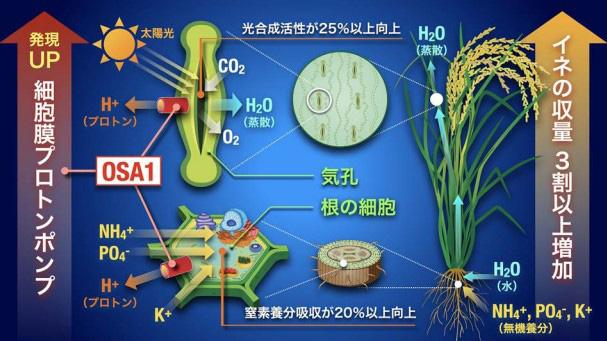 名古屋大学などの研究グループが成功させたイネ収量増加技術の概念図(名古屋大学提供)