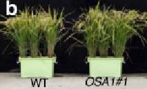 左の鉢は通常のイネ。右は遺伝子の発現を高めて収量が増えたイネ(名古屋大学提供)