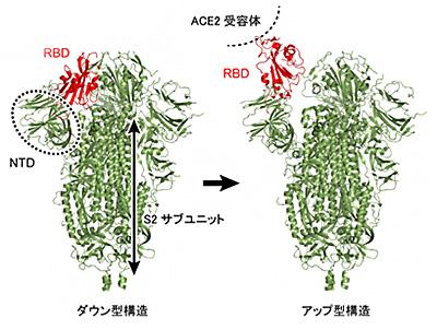 スパイクタンパク質の受容体結合部分のダウン型構造とアップ型構造(理研提供)