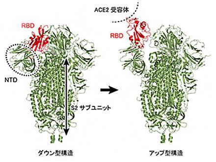新型コロナ感染の分子メカニズムを解明 理研がスパコン「富岳」など活用
