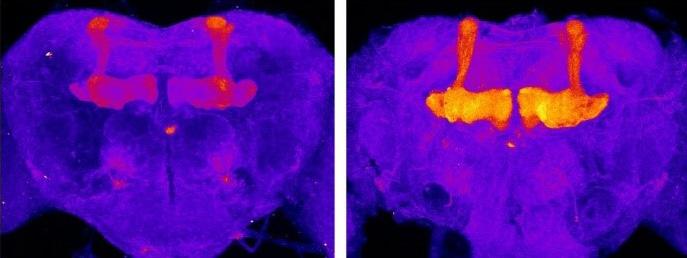 D1ドーパミン受容体を可視化したハエの脳。自由に飲酒させたもの(右)は、させなかったものに比べ受容体が多い(黄色や赤の部分)ことが分かる(東北大学、国立遺伝学研究所提供)