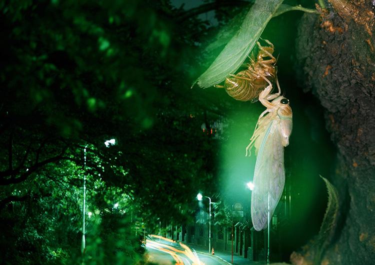 羽化したアブラゼミ。長時間露光中にフォーカスを動かし、手持ちフラッシュを使って撮影した。とっさに思いついた方法だった。1990年頃、国内で(海野和男撮影)