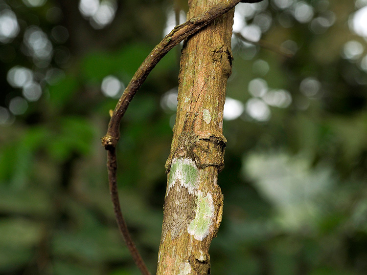 昆虫の擬態。木の幹にとけ込むキリギリス。カメルーンで(海野和男撮影)