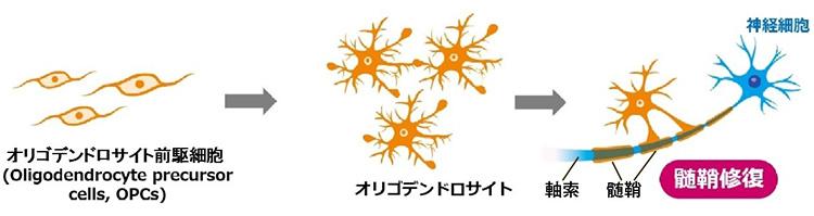 髄鞘はオリゴデンドロサイトが神経細胞に巻きついてできる(国立精神・神経医療研究センター・村松里衣子氏提供、一部加筆)