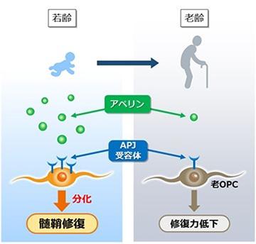 老化で髄鞘の修復力が低下する仕組み(村松氏提供)