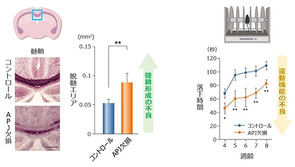 APJ受容体を欠損したマウスの実験結果。脳の青枠部分を調べると、コントロール(正常なマウス)に比べ髄鞘が脱落していた。運動させると、正常なマウスより短時間で回し車から落下した(村松氏提供)