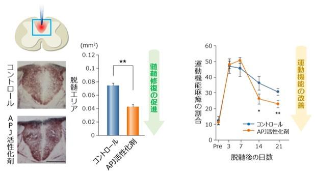 APJ受容体を活性化させると髄鞘の修復が進み、運動機能が改善した(村松氏提供)