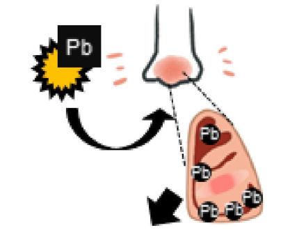 汚染物質の鉛がスギ花粉症を悪化 名大・福井大の研究で判明