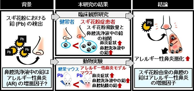 スギ花粉症の症状と鉛の関係を調べた研究の概念図(名古屋大学、福井大学提供)